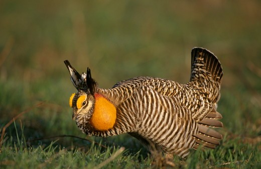 Stock Photo: 4179-8327 Greater Prairie Chicken male (Tympanuchus cupido) booming on lek - IL