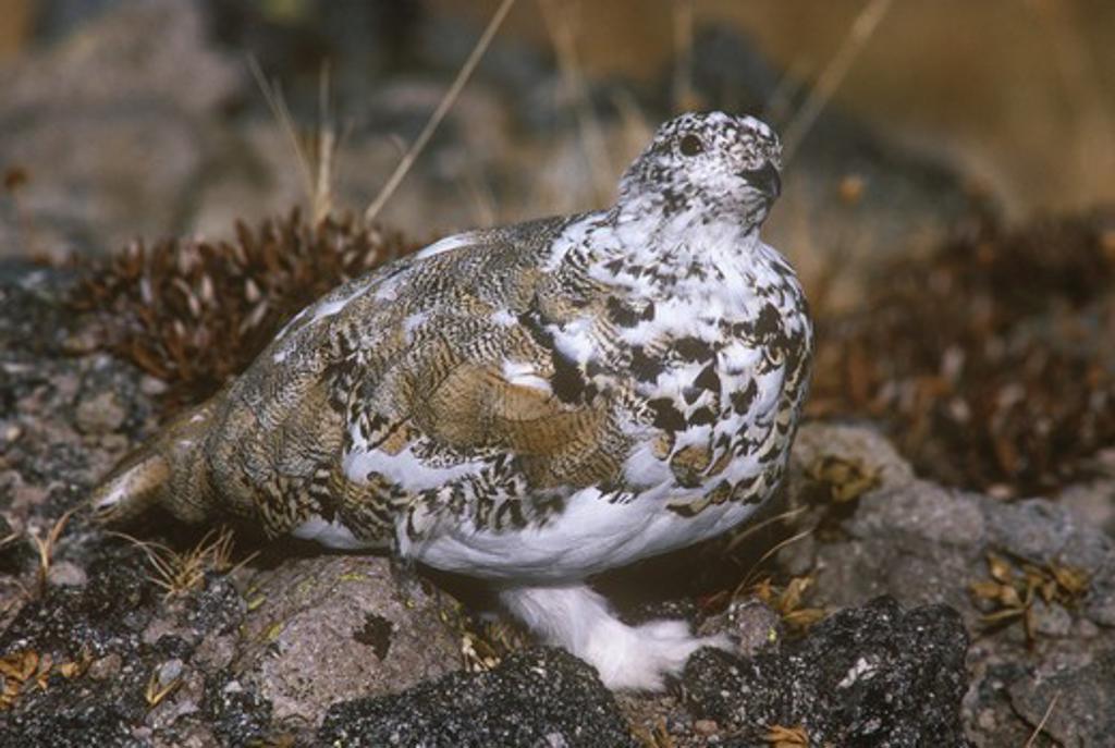 Stock Photo: 4179-8392 White tailed Ptarmigan (Lagopus leucurus) in fall plumage, Colorado