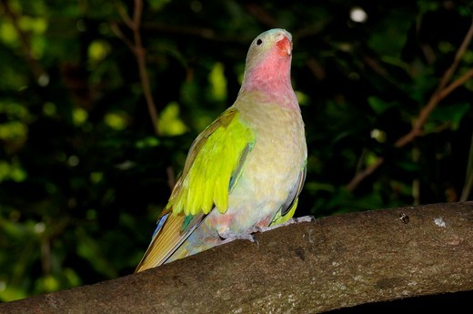 Stock Photo: 4179-8611 Princess or Alexandra's Parrot (Polytelis alexandrae)  Standing on tree branch calling Walk-through Aviary, May, The Australia Zoo, Beerwah, Queensland, Australia