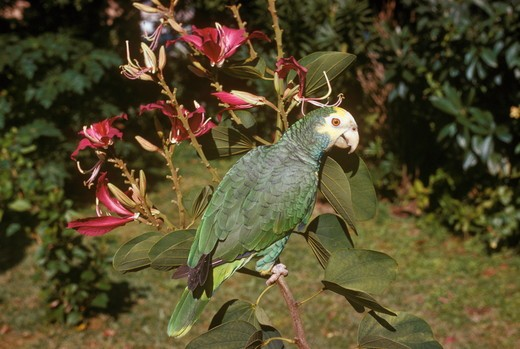 Stock Photo: 4179-8644 Yellow-Naped Amazon Parrots (Amazona ochrocephala) Hong Kong Orchid Tree