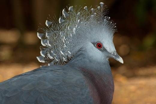 Stock Photo: 4179-8699 Victoria Crowned Pigeon (Goura victoria) New Guinea San Diego Zoo, CA