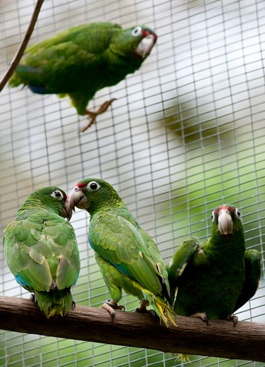 Stock Photo: 4179-8702 Juvenile Puerto Rican Parrots for future Release, (Amazona vittata) Rio Abajo Aviary Recovery project, Endangered species