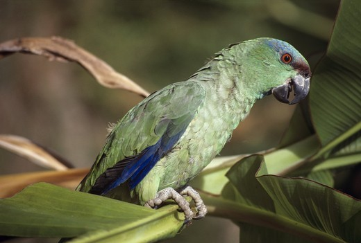 Stock Photo: 4179-8746 Festive Parrot (Amazona festiva) Para, Brazil