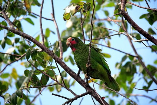 Rose Throated Amazon Parrot (Amazona leucocephala caymanensis) Grand Cayman, Cayman Islands : Stock Photo