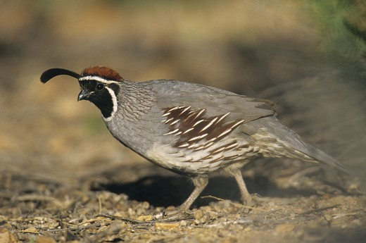 Stock Photo: 4179-8894 Gambel's Quail (Callipepla gambelii), male, AZ