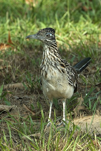 Stock Photo: 4179-8947 Roadrunner (Geococcyx californianus) Grand Lake Estates, TX, Texas
