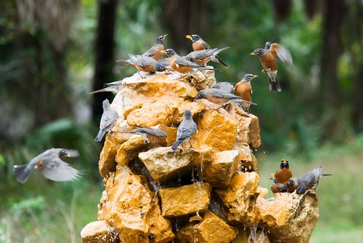 Migrating American Robins (Turdus migratorius) drinking from fountain, Fort DeSoto Park, Pinellas Co, FL : Stock Photo