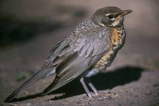 Stock Photo: 4179-9152 American Robin, immature, Devil's Tower NM, WY