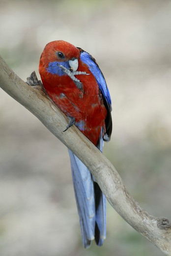 Crimson Rosella (Platycercus elegans). adult feeding, Australia : Stock Photo
