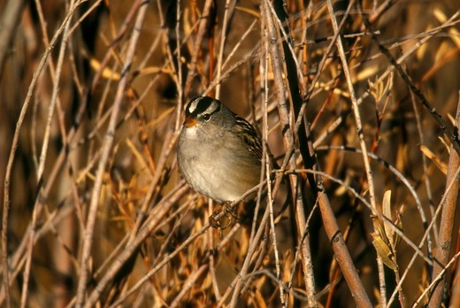 White-crowned Sparrow (Zonotrichia leucophrys), Bosque del Apache NWR, NM : Stock Photo