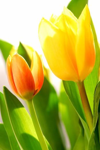 Close up on fresh backlit tulips on white background : Stock Photo