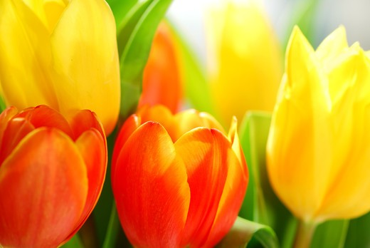 Close up on fresh tulips bouquet in warm sunlight : Stock Photo