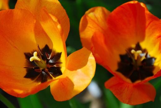 Two tulips macro : Stock Photo