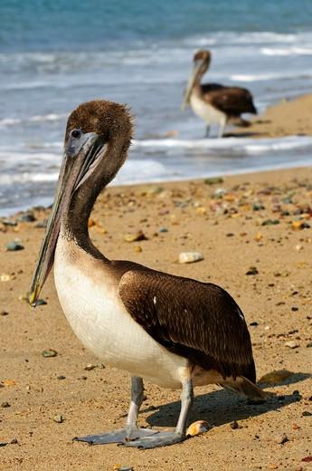 Stock Photo: 4183R-10291 Pelicans on Puerto Vallarta beach in Mexico