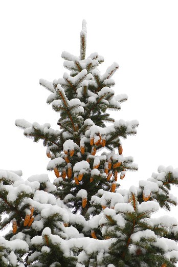 Stock Photo: 4183R-10627 Snow covered spruce tree with cones isolated on white background