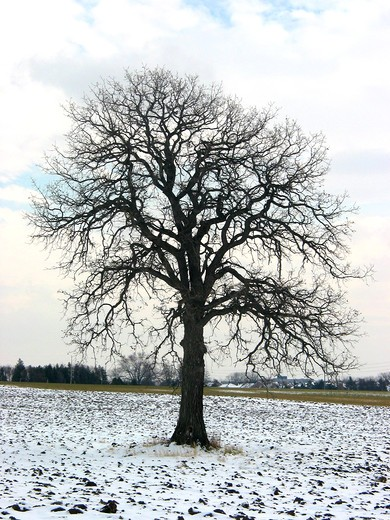 Lonely oak tree in a winter field : Stock Photo