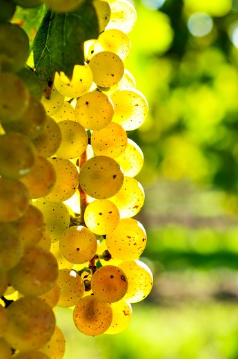 Yellow grapes growing on vine in bright sunshine : Stock Photo