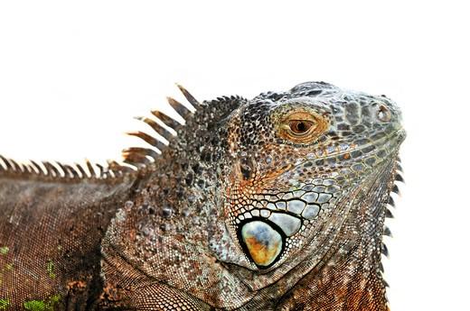 Close up of green iguana head on white background : Stock Photo