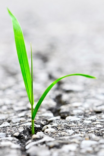 Stock Photo: 4183R-1753 Green grass growing from crack in old asphalt pavement