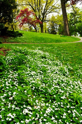 Stock Photo: 4183R-2129 White canada violets blooming in a spring park