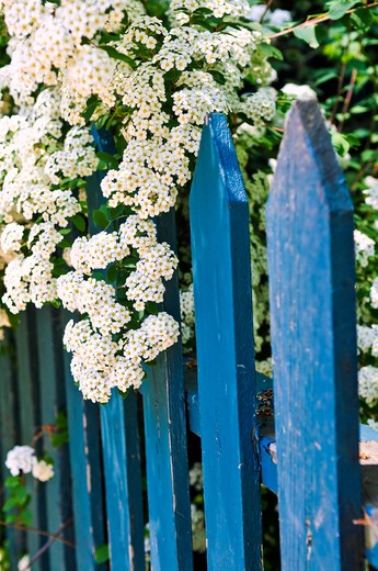 Blue picket fence with flowering bridal wreath shrub : Stock Photo