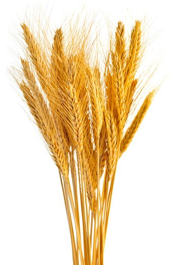 Stock Photo: 4183R-2591 Stalks of golden wheat grain isolated on white background