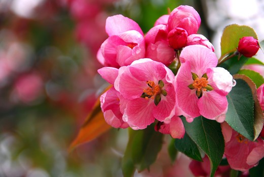 Stock Photo: 4183R-2886 Pink apple blossom close up in spring orchard