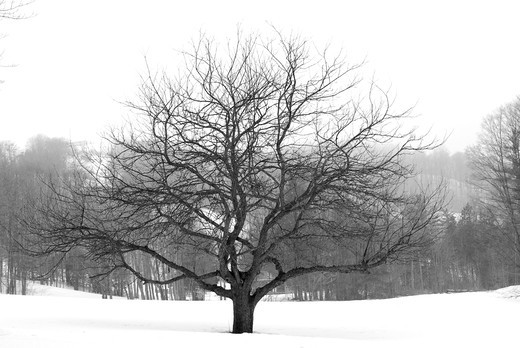 Stock Photo: 4183R-2896 Apple tree in winter, black and white