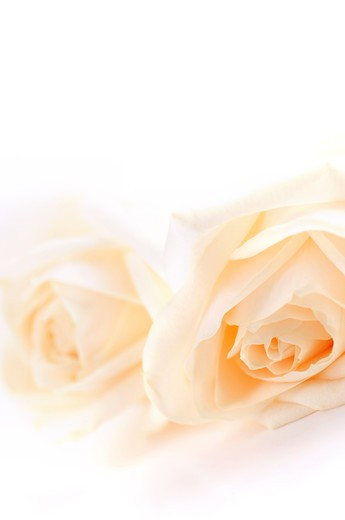 Stock Photo: 4183R-3128 Macro of two delicate high key beige roses on white background