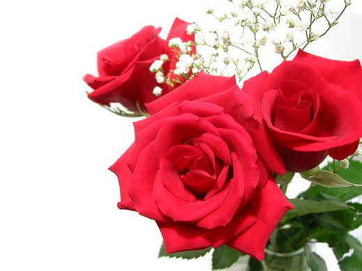 Stock Photo: 4183R-3308 Bouquet of three red roses on white background, space for copy
