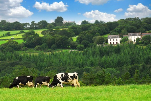 Cows grazing on a green pasture in rural Brittany, France : Stock Photo