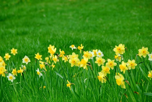 Stock Photo: 4183R-4532 Row of spring daffodils in green grass field