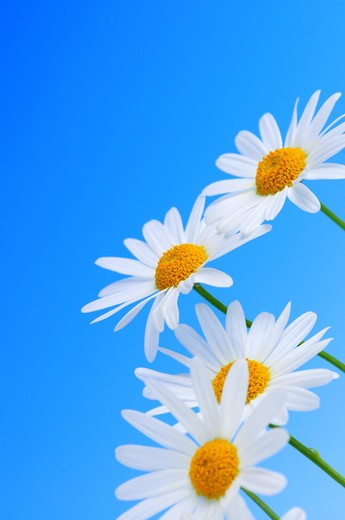 Daisy flowers in a row on light blue background : Stock Photo