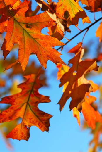 Closeup of colorful fall oak leaves, natural background with blue sky : Stock Photo