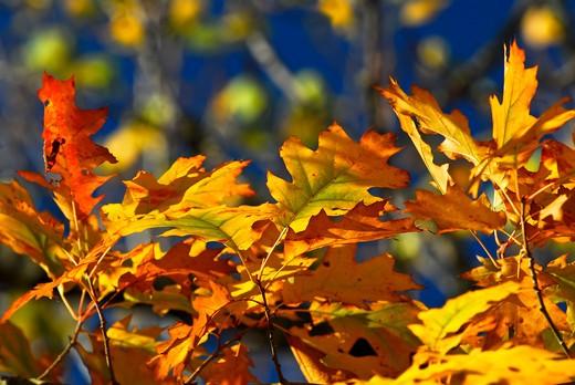 Autumn oak leaves of bright fall colors close up : Stock Photo