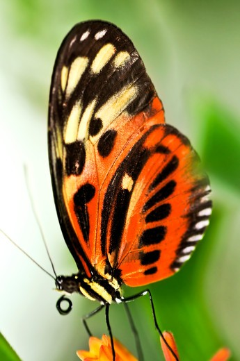 Stock Photo: 4183R-525 Large tiger butterfly sitting on a flower