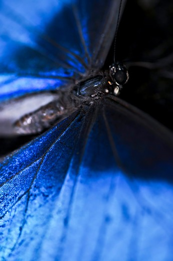 Stock Photo: 4183R-537 Closeup of a beautiful blue morpho butterly