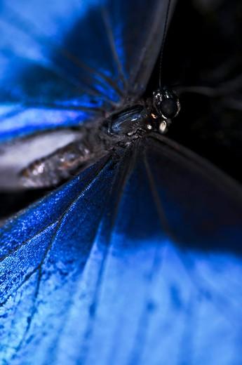 Closeup of a beautiful blue morpho butterly : Stock Photo