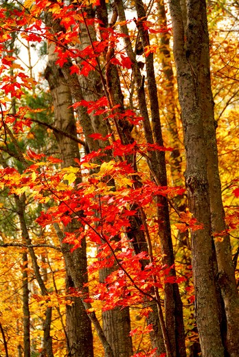 Stock Photo: 4183R-5392 Colorful fall forest background with red maples leaves