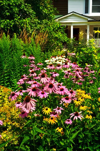 Stock Photo: 4183R-5786 Residential landscaped garden with purple echinacea coneflowers and plants