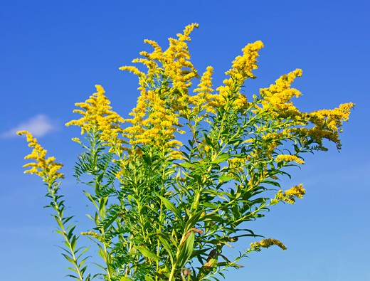 Blooming goldenrod plant on blue sky background : Stock Photo