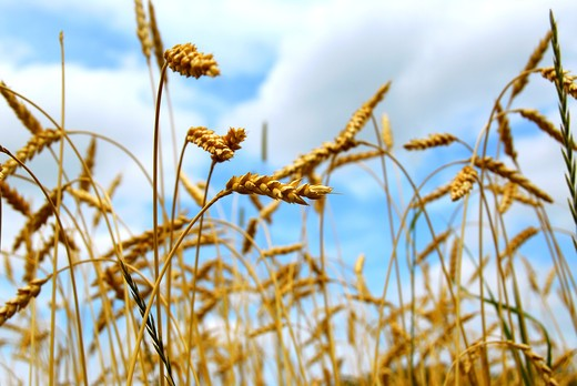 Stock Photo: 4183R-6190 Close up on grain ready for harvest growing in a farm field