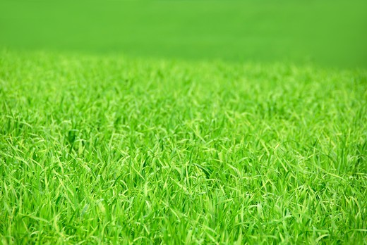 Agricultural landscape background - green field of young grain grass : Stock Photo
