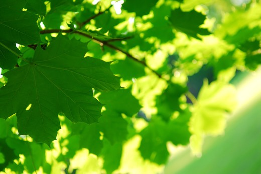 Background of green maple leaves backlit by afternoon sun : Stock Photo