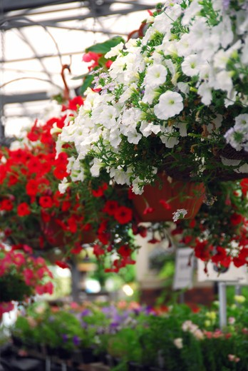 Stock Photo: 4183R-6311 Rows of flowers for sale in a greenhouse