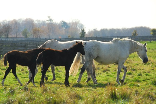 Horses on a ranch - white mares with brown colts : Stock Photo
