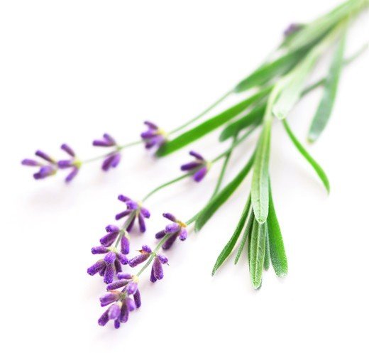 Stock Photo: 4183R-7052 Sprigs of lavender isolated on white background