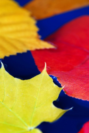 Stock Photo: 4183R-7106 Colorful fall leaves floating in blue water
