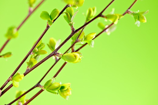 Stock Photo: 4183R-7142 Branches with young spring leaves budding on green background