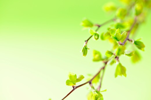 Branches with young spring leaves budding on green background : Stock Photo
